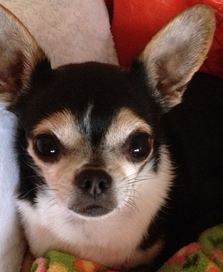 tri color chihuahua tri color chihuahua all warm and cuddly cute animals 4175