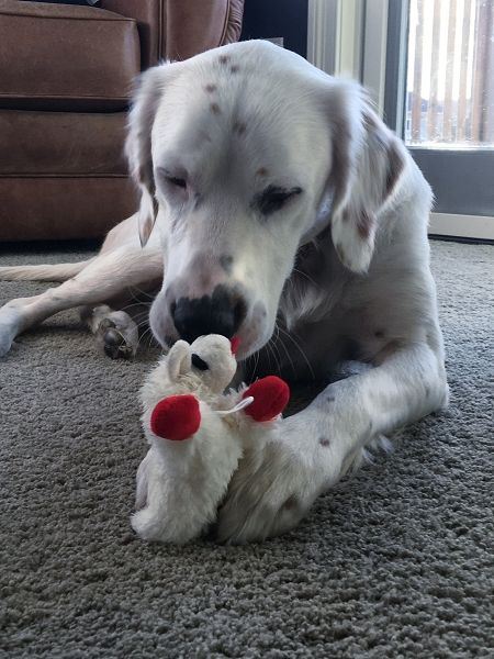 MACK - sweet. big, 1.5 year old English Setter male available for adoption from Above and Beyond English Setter Rescue.