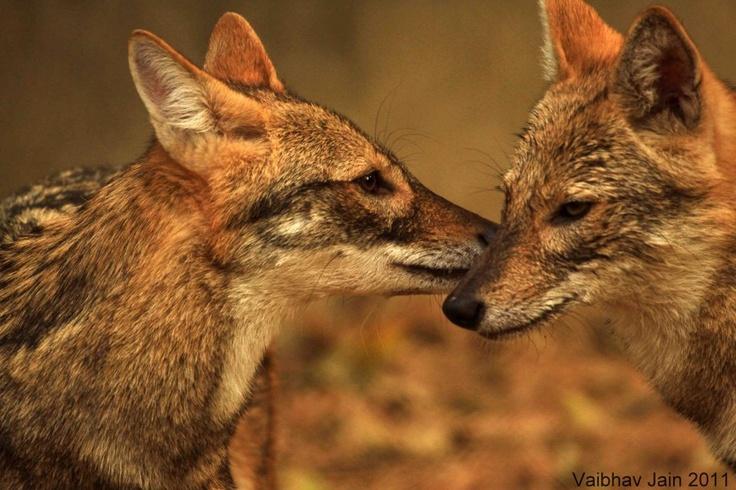 vaibhav jain jackalsPhotos, Jain Jackal, Animal Pictures, Nature Pictures, Search, Wildlife, Image