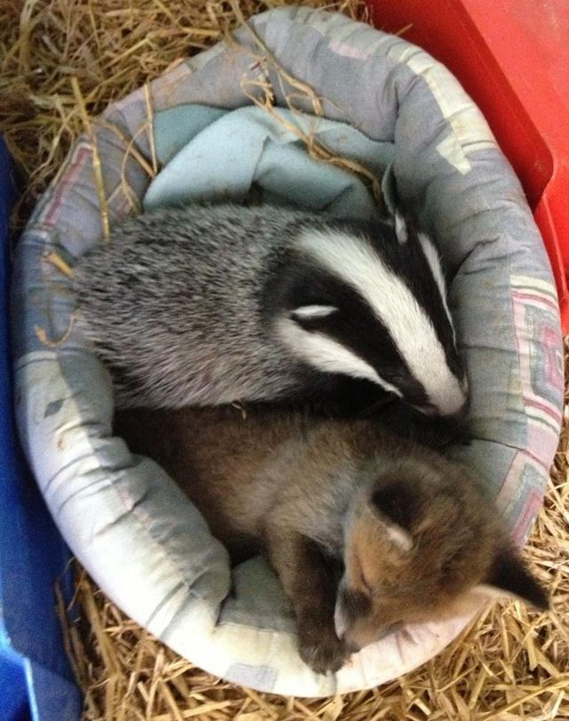 Baby badger and fox