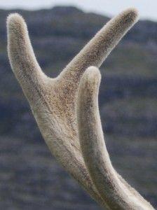 Deer Antler Velvet - The Anti-Aging Miracle « Herbs List