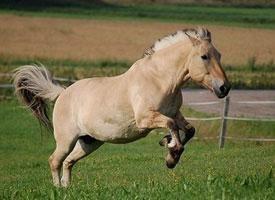 Fjordský kůň