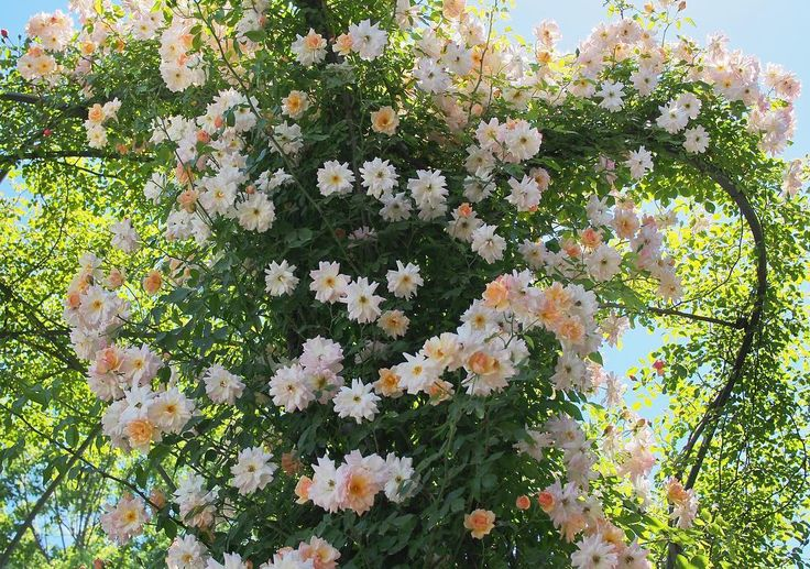 * #phyllisbide  Have a nice day �� ・ 花フェスタ記念公園へ バラを見に行ってきました フィリスバイドというバラ 小輪八重咲きのかわいい花が 見上げるくらいのアーチにたくさん咲いていて うわーー��てなりました♪ ・ 今年はお天気続きで もう満開でしたね〜綺麗でした ・ #rosegarden #roses #flowerslovers #japan #gifu  #view #花フェスタ記念公園  #フィリスバイド #バラ #ばら #薔薇 http://gelinshop.com/ipost/1524410125996144572/?code=BUnyu7UAje8