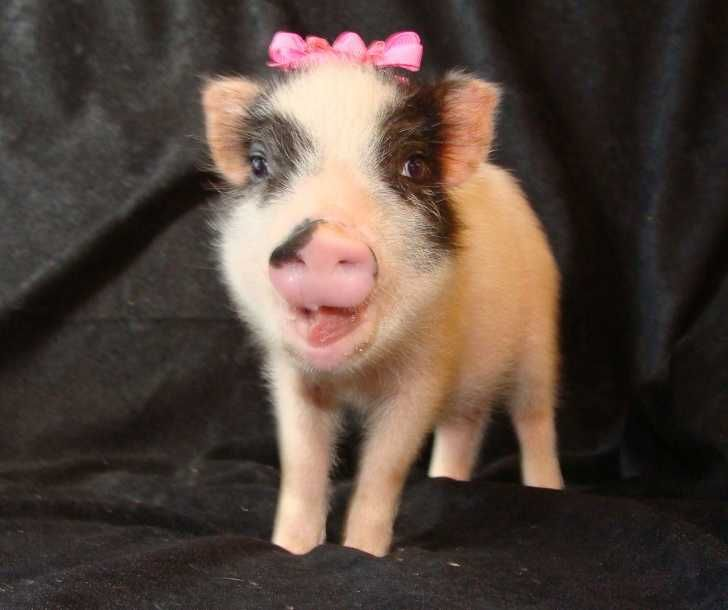 A mini juliana pig!  I'm still trying to convince my husband to let me get one as a pet!
