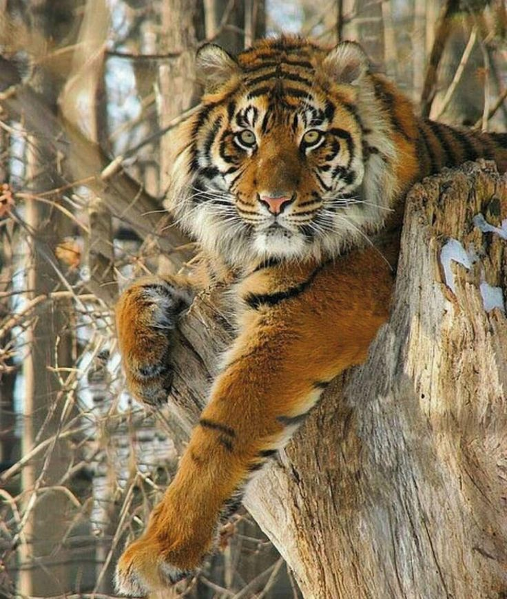 I didn't think tigers climbed trees.  Obviously I was wrong.