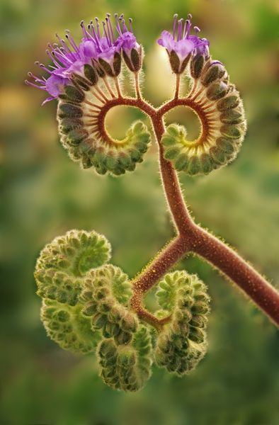 Phacelia plant beginning to bloom in death valley. Oils in the plant may cause severe dermatitis, just like poison ivy. Photo by Dennis Flaherty.