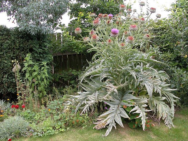 Giant Ornamental Artichoke Plant | Flickr - Photo Sharing!