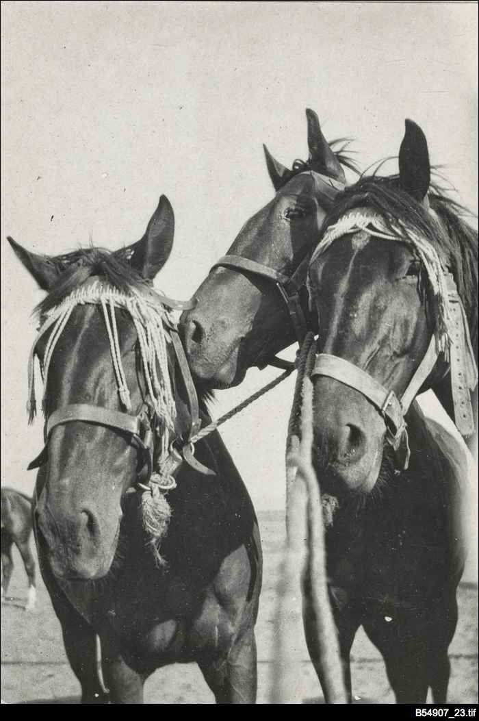 Three faithful members of the Australian Light Horse. The photograph is from an album of photographs taken in Egypt and the Middle East by an unknown South Australian member of the Australian Light Horse.
