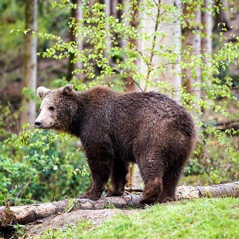 #Bär #Wildnis #Wildlife #Nationalpark #Schwarzwald #nationalparkschwarzwald #braunbär #Park #Tier #Wald #Forest #bärenpark #wild #Landschaft #landscape #fotosafari #sonyalpha7 #Gmaster #70200mm