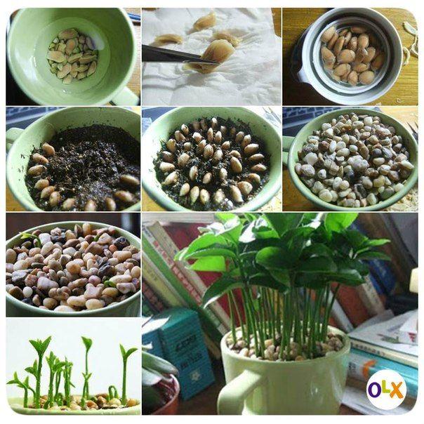 Зеленый лимончик в домашних условиях.  Необходимо:  1. Сохранить семена лимона. 2. Замочить семена в воде приблизительно на 2-3 часа и дать им высохнуть на бумажном полотенце. 3. Аккуратно отделить оболочку семян. 4. Насыпать почву в чашку и посеять семена. Добавить воду, чтобы увлажнить почву. 5. Накрыть почву галькой и поместить чашку в место с большим количеством солнечного света. 6. Поливать раз в день, чтобы почва всегда была влажной и наслаждаться всходом побегов. :)
