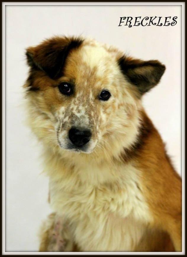 Freckles - Border Collie/ Australian Shepherd mix -Adult ...