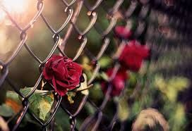 Image result for red rose wallpapers favim tumblr