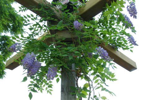 Dallying In The Dirt Issue 262 The Long Wait For A Wisteria Tree Is Almost Over Wisteria Tree Flower Care Light Purple Flowers