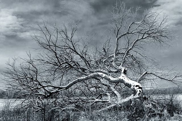 Cold Winter Day Hard To Tell If This Tree Mostly Down Is Dead Or Still Alive On This Cold Winter Day In Eagle Islan State Parks Winter Photography Eagle Idaho