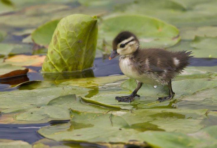 A wood duck baby walking on Lily Pads