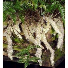 Rabbit's Foot Fern - this looks straight out of Harry Potter!