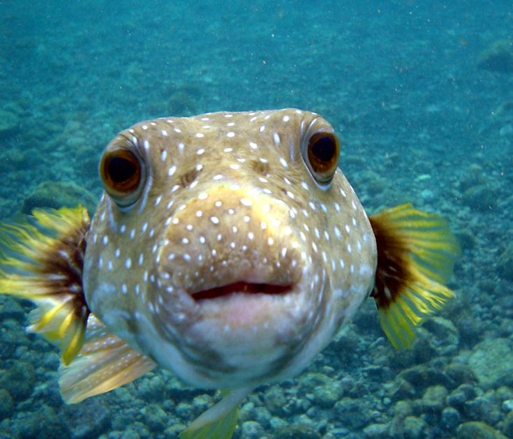 Deadly creatures - Puffer Fish