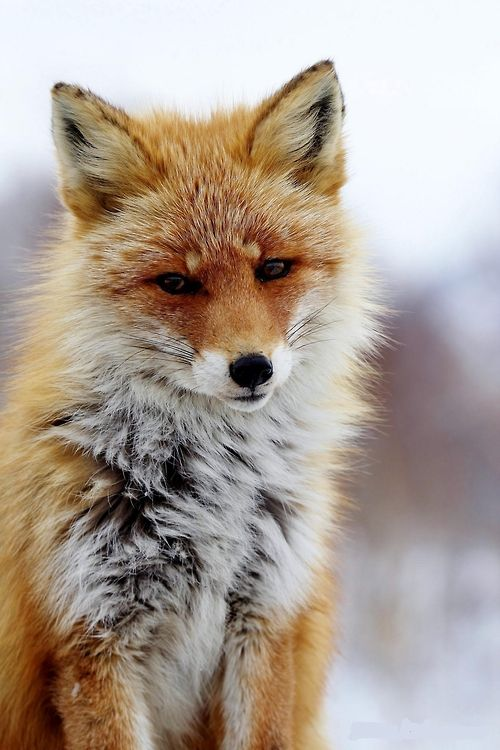 wonderous-world:  Red Fox by Masa Nakamura