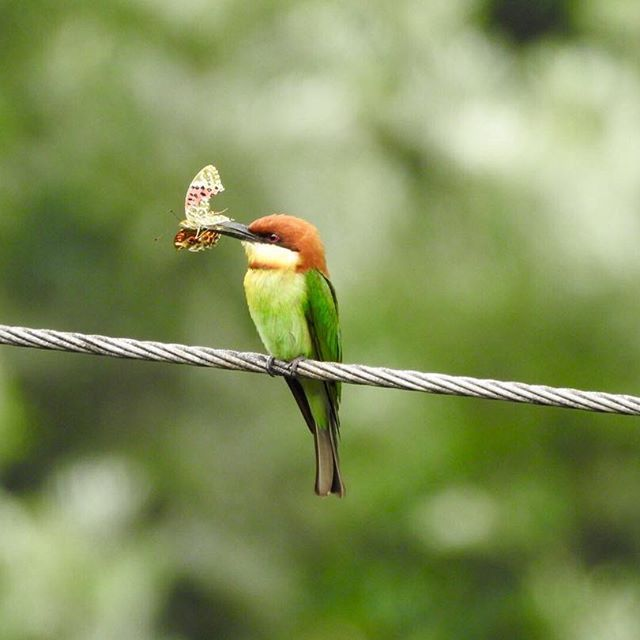 Chestnut headed bee eater  .  .   #munnar #kerala #india #beeeater #bird #chestnut #birds #birding #birdwatching #nature #naturephotography #green #butterfly #beautiful #colorful #tele #telephoto