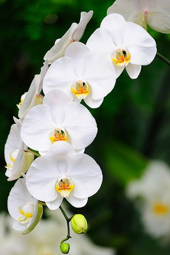 #Flowers | #flower | #Orchid