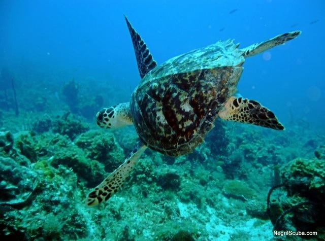 Sea Turtle   Scuba Dive Photos Negril Jamaica