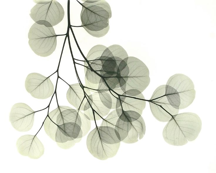 Dutch artist Albert Koetsier makes x-ray photographic art. At beyondlight.com you can see his fantastic images of animals, shells and plants. His series 'The lungs of the earth' features, amongst many others, ginkgo, maple and eucalyptus leaves.