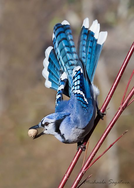 Blue Jay, my favorite beauty of a blue bird.  Raucous, impertinent, robber....I love it anyway.