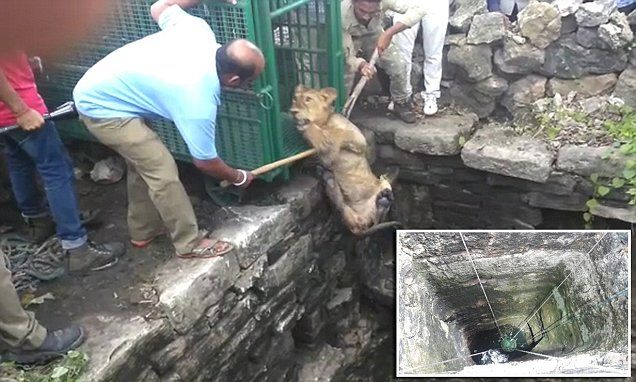 Stranded lioness cub rescued from a 80ft well by heroic locals #DailyMail