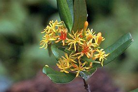 Study finds mistletoe key to landscape in Australia › News in Science (ABC Science)