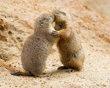 Cães da pradaria (esquilo) - Momento romântico
