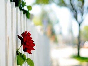 Rosa roja fuera de una valla blanca