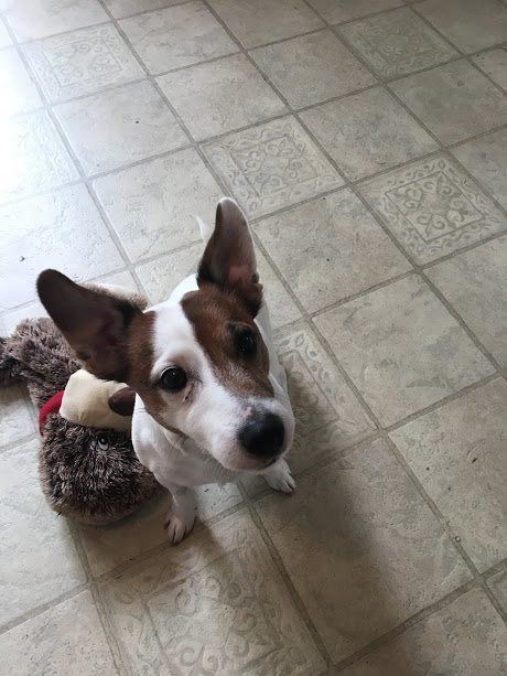 Meet Linus, an adoptable Jack Russell Terrier looking for a forever home. If you're looking for a new pet to adopt or want information on how to get involved with adoptable pets, Petfinder.com is a great resource.