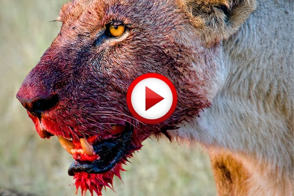 3 men vs 15 hungry lions #lions, #extreme, #africa, #videos, #videobox, #pinsland
