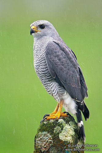 Gray Hawk | por Judd Patterson