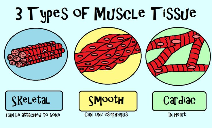 Week 3.   No bones about it; your bones can't do much without muscles to move them. You have three major types of muscle tissue known as skeletal, smooth, and cardiac muscle. Learn about all 11 organ systems with the Amoeba Sisters! http://www.youtube.com/watch?v=nnjmrrQ6xOs, w3
