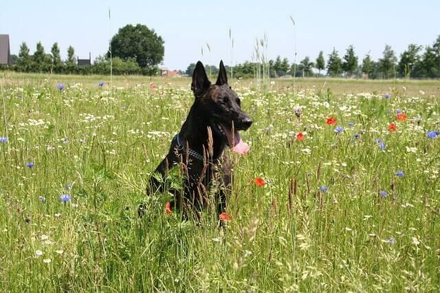 Dutch Shepherd – Dog Breeds