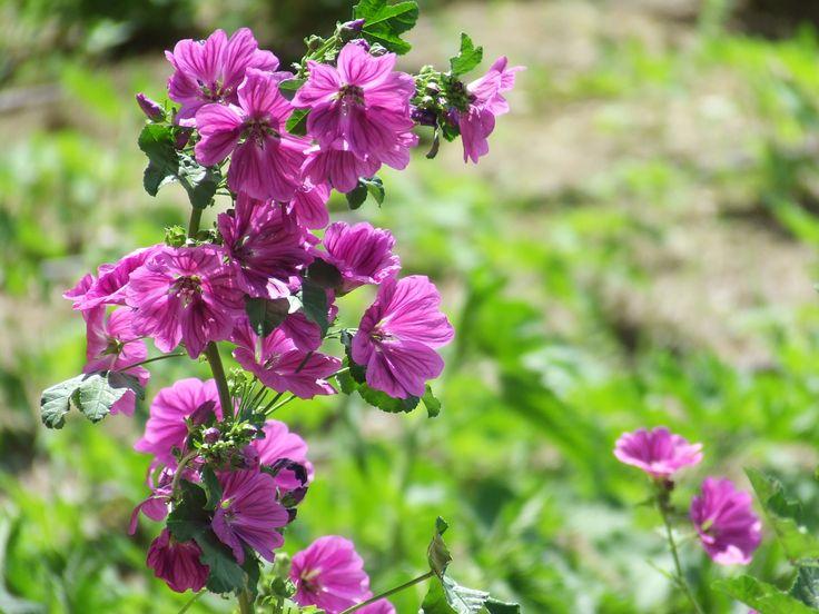 #Malva - #Mallow https://sites.google.com/site/lizfattoriadelleerbe/coltivazione-erbe-fiori-eduli