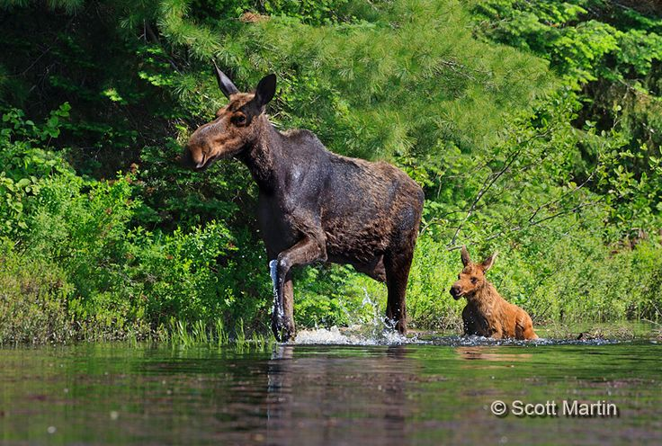 Algonquin Park moose by Scott Martin - Earlier this year it was my privilege to spend three days in Algonquin Provincial Park, photographing moose. It was a fabulous few days as we saw approximately twenty different moose and were able to capture them in great light and from a terrific low vantage point as we were shooting from a boat.  Our captain and moose guide extraordinaire was Michael Bertelsen who owns and operates Algonquin Park Photography Tours & Workshops.