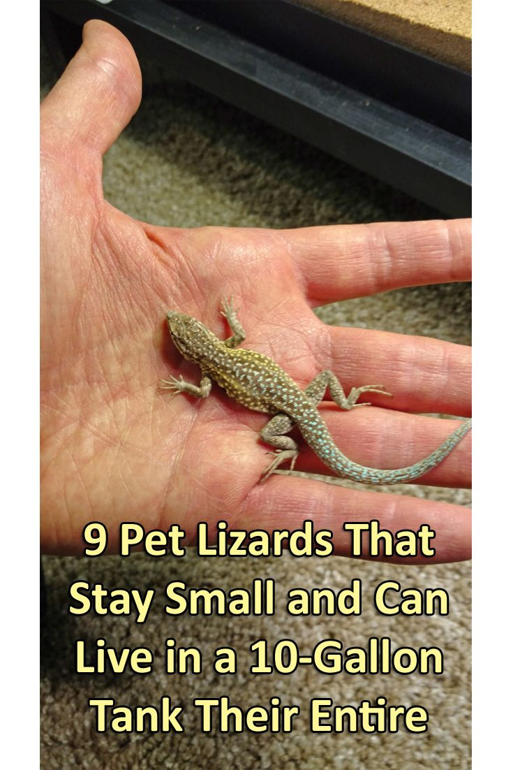 9 Pet Lizards That Stay Small And Can Live In A 10 Gallon Tank Their Entire Lives Pet Lizards Lizard Tank Small Lizard Pets