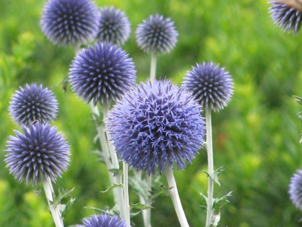 Ornamental Thistles & Other Prickly Perennials ...
