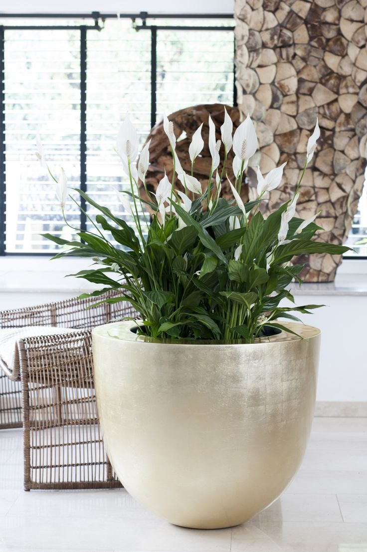 June 2015: the Peace Lily is Houseplant of the month | Agora Group