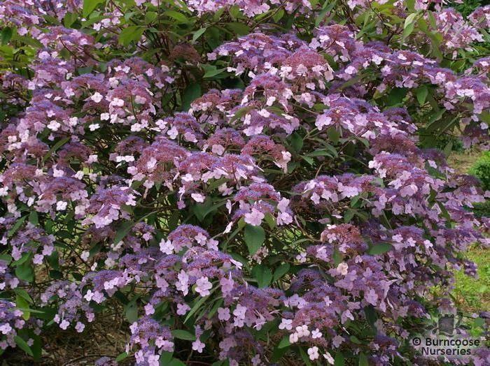 Hydrangea Aspera Villosa Group  from Burncoose Nurseries