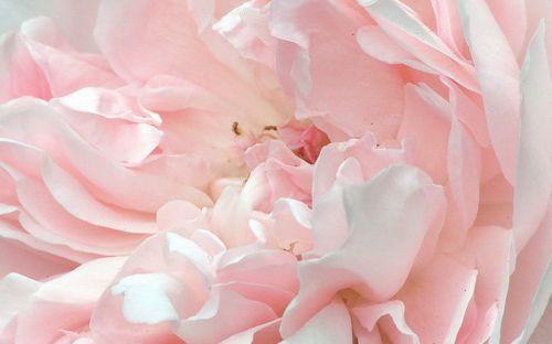 7c61895b0a5665fa3c1588f765e844f2--pink-peonies-pink-flowers.jpg