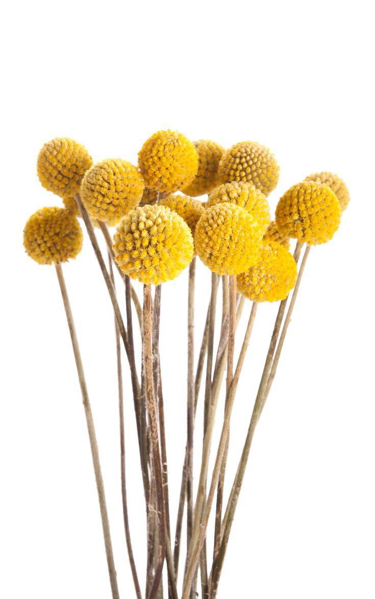 Yellow Billy Balls Craspedia Fall Flowers Mums Flowers