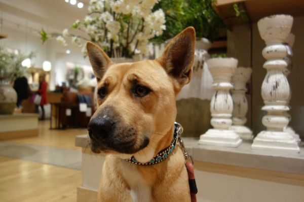 "Pottery Barn ""My tail has broken 63 things in here today… is that a new record?"" Pottery Barn allows dogs in stores."
