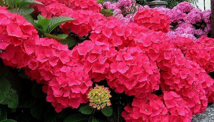 As 25 melhores ideias de plantas jardin no pinterest flores balcon como sembrar plantas e - Cuidar hortensias exterior ...