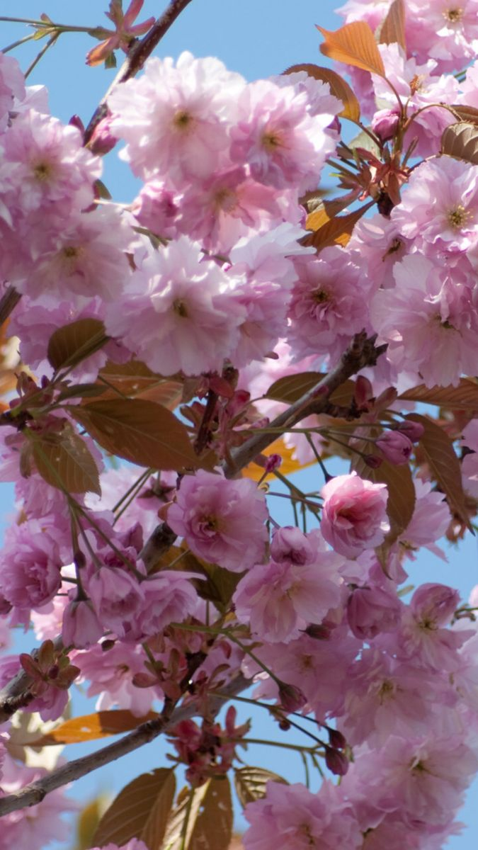 Images For Gt Ornamental Cherry Trees Ornamental Cherry Ornamental Trees Prunus