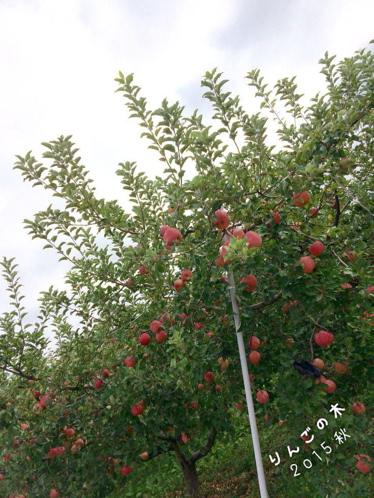 りんごの木 2015/09/21 信州らしい風景です(*^^*)
