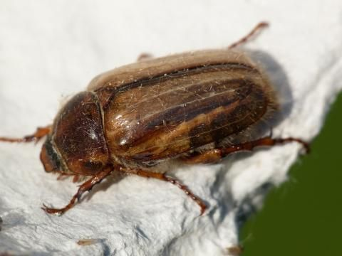 Summer Chafer: a fly by night species | Nature Notes from Dorset