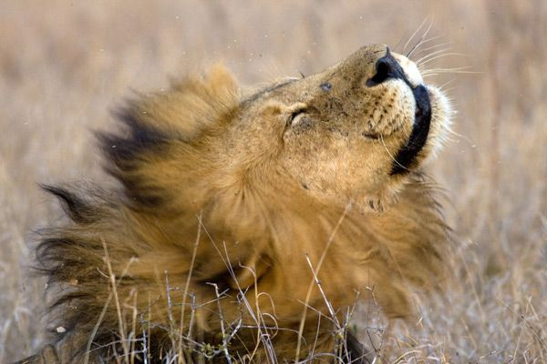 Male lion at Africa on Foot Camp